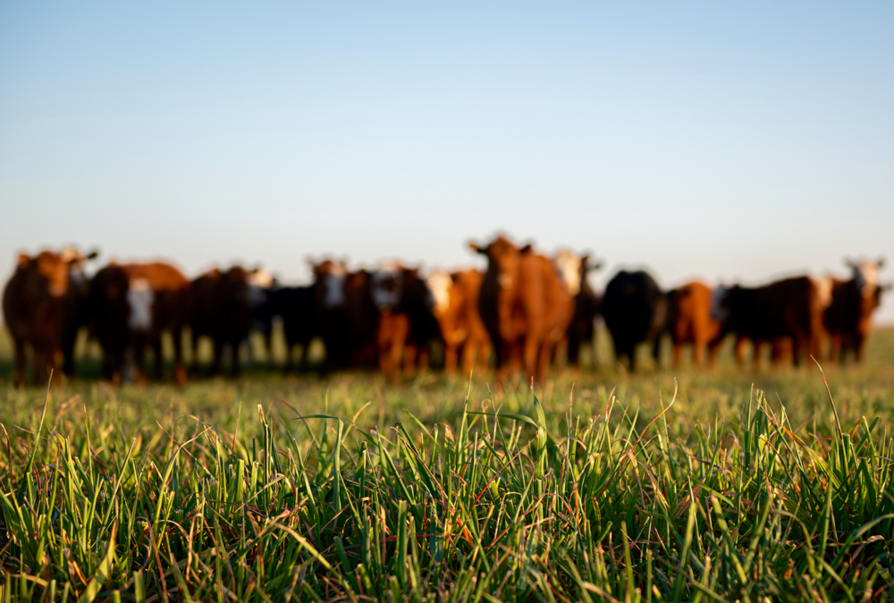 The U.S. cattle herd is in a contraction phase and will likely shrink over the next couple of years.