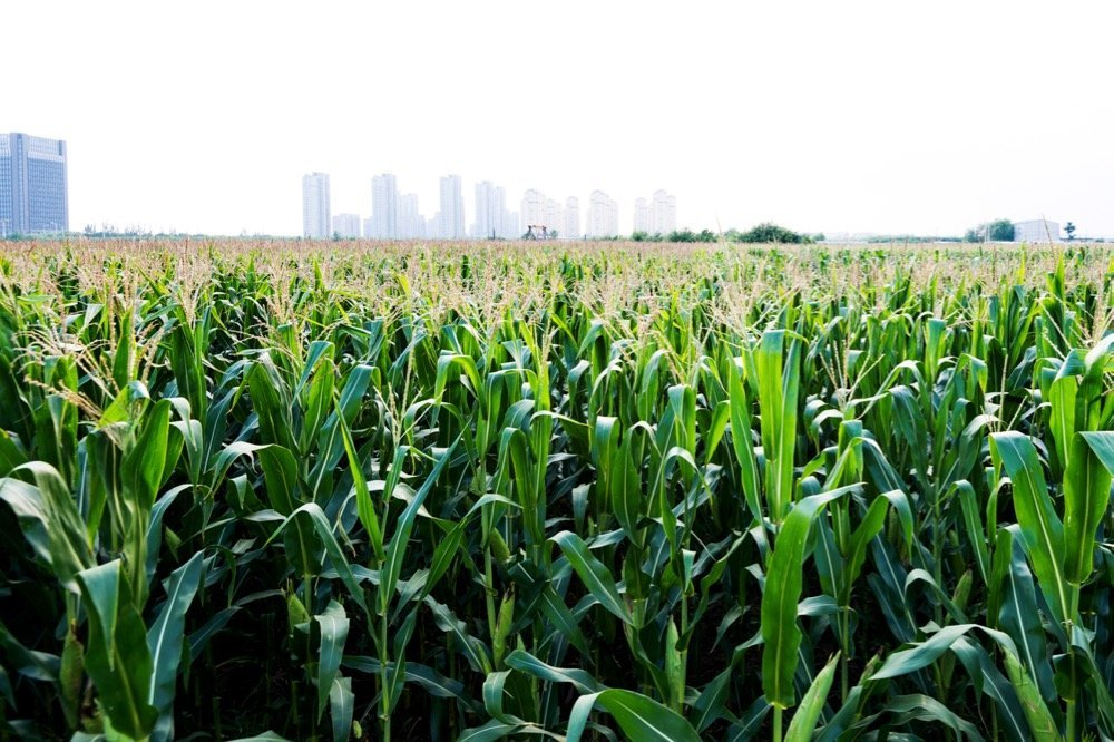 File photo of a Chinese cornfield. (Baona/iStock/Getty Images)
