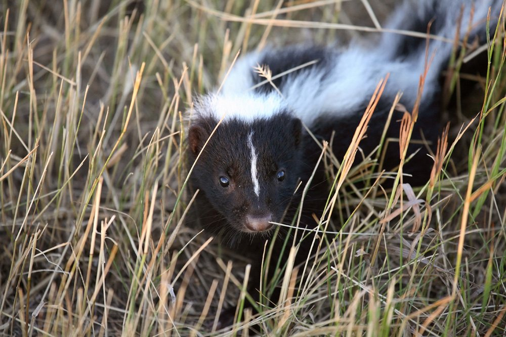 Skunks, bats and wild carnivores run the highest risk of transmitting rabies.