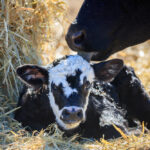 The Livestock Price Insurance Program is offering an expanding buying and settlement window for cow-calf producers.