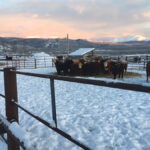 Weaned calves in the Yukon. Winter feed is costly in the sub-Arctic.