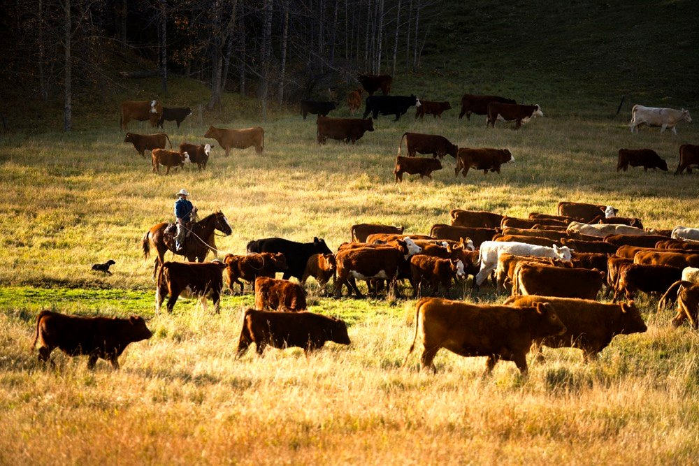 Driving profit through cattle genetics on the ranch