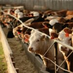 Feeder cattle supplies tightening