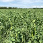 File photo of a pea crop south of Ethelton, Sask. on Aug. 1, 2019. (Dave Bedard photo)