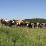 Cattle waiting at the Pathlow Community Pasture in July 2006.