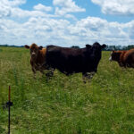 Yearling steers grazed each site for about 30 to 40 days in August and September for three years.