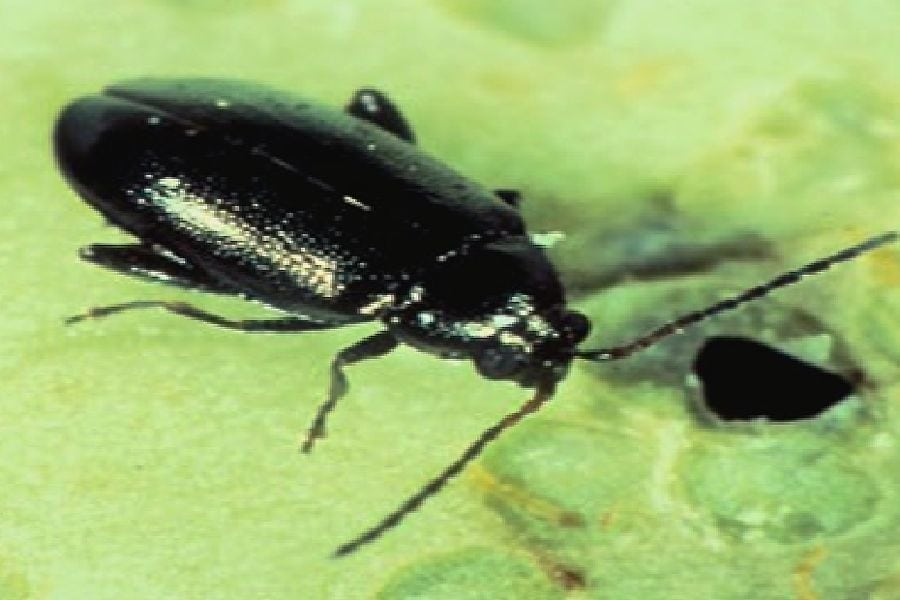 Flea beetle. (Photo courtesy Canola Council of Canada)